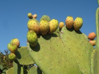 Prickly pears are popular in Puglia.