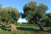 Twisted and wind-blown olive trees in Puglia.
