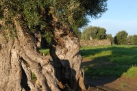 Another centuries-old olive tree in Puglia.