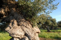 The gnarled, knotted trunk of an olive tree in Puglia.
