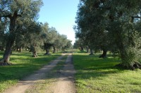 Arrival at Villa Elia is via the surrounding olive groves.